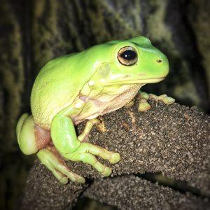 Green Tree Frog_2