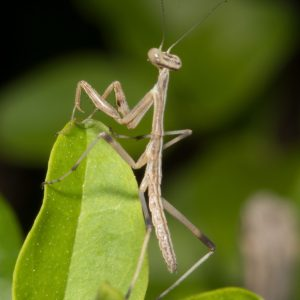 Praying Mantis_2