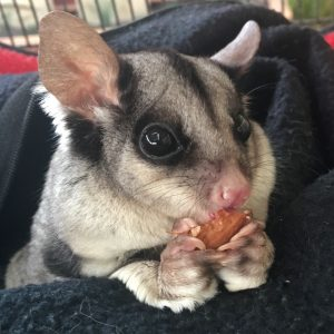 Squirrel Glider_2