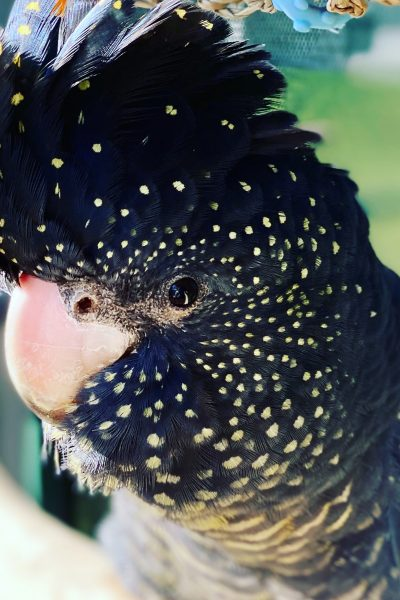 Red-tailed Black Cockatoo_2